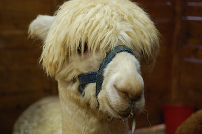 Alpaca at SAFF 2008