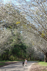 Among the Bradford Pear Blossoms